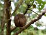 Malvaceae - Hibiscadelphus hualalaiensis