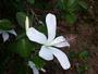 Malvaceae - Hibiscus arnottianus subsp. immaculatus