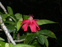 Malvaceae - Hibiscus clayi