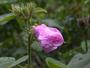 Malvaceae - Hibiscus furcellatus