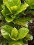Malvaceae - Hibiscus kokio subsp. kokio