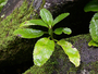 Crassulaceae - Kalanchoe pinnata