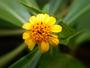 Asteraceae - Lipochaeta succulenta