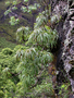 Campanulaceae - Lobelia niihauensis