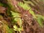 Juncaceae - Luzula hawaiiensis var. hawaiiensis