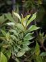 Primulaceae - Lysimachia hillebrandii