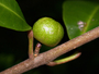 Rutaceae - Melicope anisata