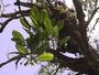 Rutaceae - Melicope paniculata