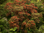 Myrtaceae - Metrosideros polymorpha var. glaberrima