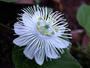 Passifloraceae - Passiflora foetida