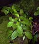 Piperaceae - Peperomia latifolia