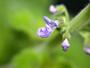 Lamiaceae - Plectranthus parviflorus