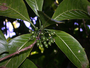 Rubiaceae - Psychotria hobdyi