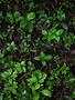 Rubiaceae - Psydrax odorata