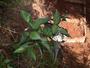 Violaceae - Viola chamissoniana subsp. tracheliifolia