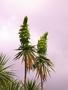 Asteraceae - Wilkesia gymnoxiphium