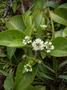 Asteraceae - Oparanthus hivoanus