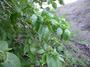 Nyctaginaceae - Pisonia grandis