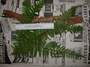 Dryopteridaceae - Polystichum marquesense