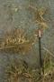 Poaceae - Poa pratensis subsp. irrigata