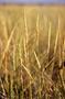 Poaceae - Koeleria macrantha
