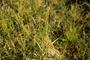 Poaceae - Poa pratensis subsp. alpigena