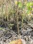 Poaceae - Poa pratensis subsp. pruinosa