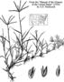 Poaceae - Cynodon dactylon