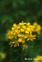 Brassicaceae - Brassica nigra