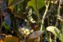 Alismataceae - Sagittaria latifolia
