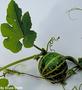 Cucurbitaceae - Cucurbita pepo