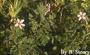Geraniaceae - Erodium cicutarium