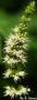 Lamiaceae - Mentha spicata