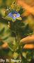Plantaginaceae - Veronica arvensis