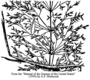 Poaceae - Agrostis stolonifera