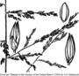 Poaceae - Panicum dichotomiflorum