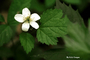 Rosaceae - Fragaria vesca