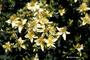 Hypericaceae - Hypericum perforatum