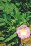 Solanaceae - Nicandra physalodes