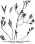 Poaceae - Agrostis canina