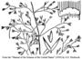 Poaceae - Agrostis capillaris