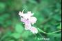 Fabaceae - Lathyrus latifolius