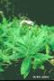 Heliotropiaceae - Heliotropium amplexicaule