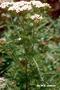 Asteraceae - Achillea millefolium