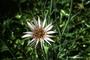 Asteraceae - Tragopogon porrifolius
