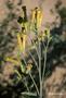 Solanaceae - Nicotiana glauca