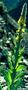 Scrophulariaceae - Verbascum thapsus