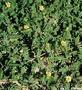 Zygophyllaceae - Tribulus terrestris