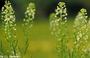 Brassicaceae - Lepidium virginicum