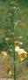 Scrophulariaceae - Verbascum blattaria f. blattaria